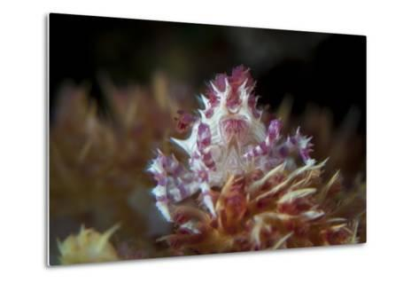 A Soft Coral Crab Clings to its Host Soft Coral on a Reef-Stocktrek Images-Metal Print