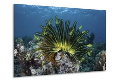 A Colorful Crinoid Clings to a Reef Near the Island of Flores in Indonesia-Stocktrek Images-Metal Print