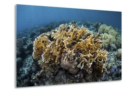 A Colony of Fire Coral Grows Near Alor, Indonesia-Stocktrek Images-Metal Print
