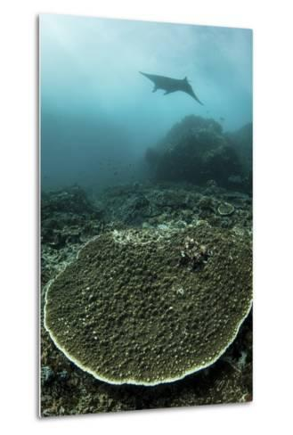 A Manta Ray Swimming Through a Current-Swept Channel in Indonesia-Stocktrek Images-Metal Print