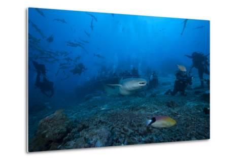 A Large Tawny Nurse Shark Swims Past Divers at the Bistro Dive Site in Fiji-Stocktrek Images-Metal Print