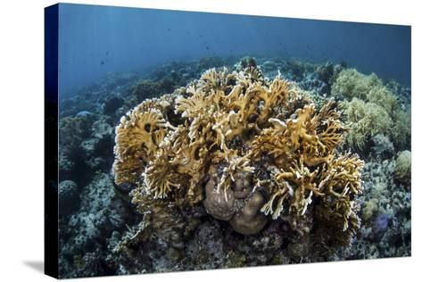 A Colony of Fire Coral Grows Near Alor, Indonesia-Stocktrek Images-Stretched Canvas Print