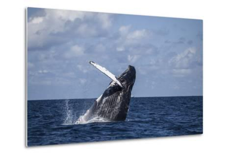 A Large Humpback Whale Breaches Out of the Atlantic Ocean-Stocktrek Images-Metal Print