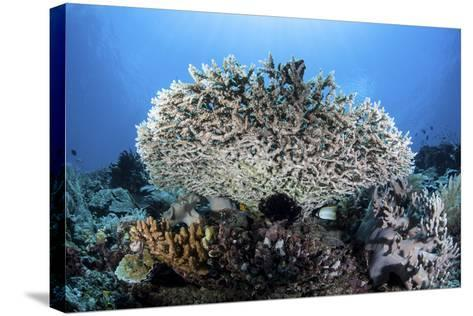 A Table Coral Grows on a Beautiful Reef Near Sulawesi, Indonesia-Stocktrek Images-Stretched Canvas Print
