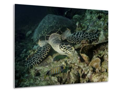 Hawksbill Sea Turtle Feeding, Bunaken Marine Park, Indonesia-Stocktrek Images-Metal Print
