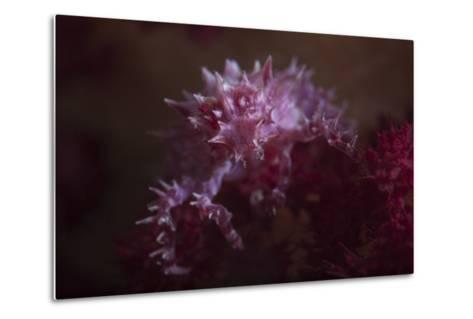 A Soft Coral Crab Blends into its Host Coral Colony-Stocktrek Images-Metal Print