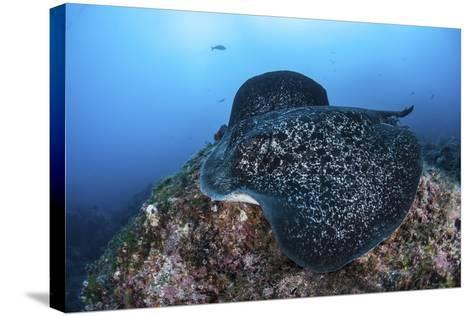 A Large Black-Blotched Stingray Swims over the Rocky Seafloor-Stocktrek Images-Stretched Canvas Print