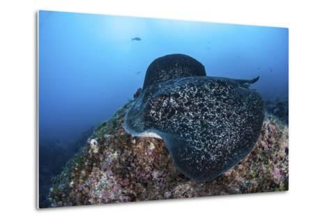 A Large Black-Blotched Stingray Swims over the Rocky Seafloor-Stocktrek Images-Metal Print