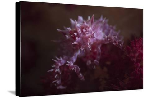 A Soft Coral Crab Blends into its Host Coral Colony-Stocktrek Images-Stretched Canvas Print