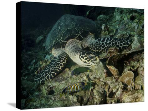 Hawksbill Sea Turtle Feeding, Bunaken Marine Park, Indonesia-Stocktrek Images-Stretched Canvas Print