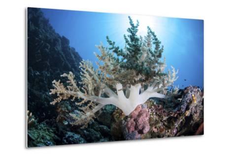 A Soft Coral Colony Grow on a Reef Near the Island of Sulawesi-Stocktrek Images-Metal Print
