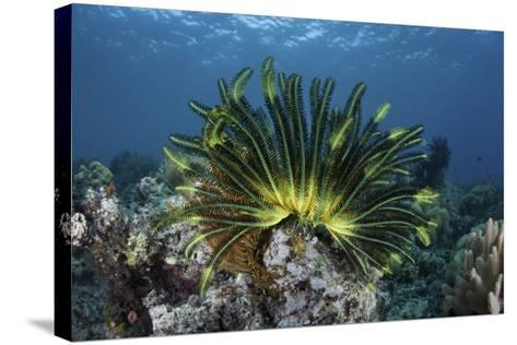 A Colorful Crinoid Clings to a Reef Near the Island of Flores in Indonesia-Stocktrek Images-Stretched Canvas Print