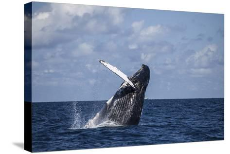 A Large Humpback Whale Breaches Out of the Atlantic Ocean-Stocktrek Images-Stretched Canvas Print