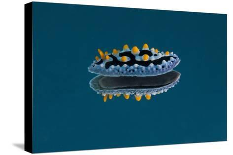 Phyllidia Coelestis Nudibranch on Blue Background-Stocktrek Images-Stretched Canvas Print