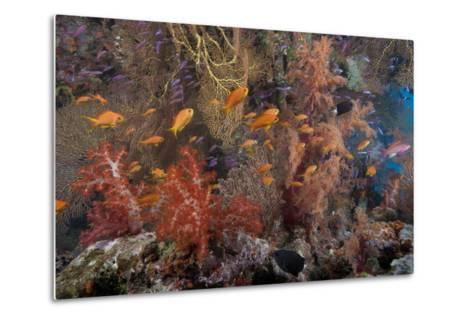 Schooling Scalefin Anthias Fish and Soft Corals of Beqa Lagoon, Fiji-Stocktrek Images-Metal Print