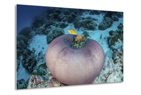 Pink Anemonefish Swim Close to their Host Anemone-Stocktrek Images-Metal Print