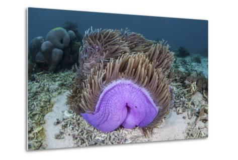 A Magnificent Sea Anemone Grows in Komodo National Park-Stocktrek Images-Metal Print