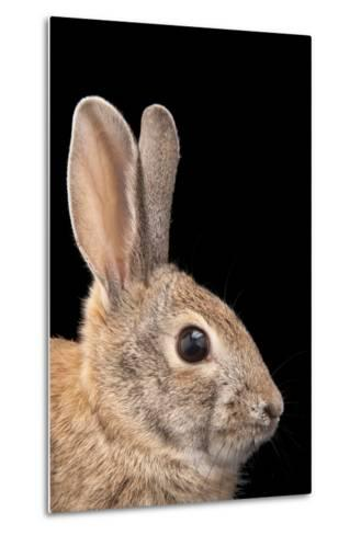 A Desert Cottontail Rabbit, Sylvilagus Audubonii.-Joel Sartore-Metal Print