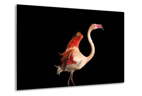 A Fifteen Year Old Greater Flamingo, Phoenicopterus Roseus.-Joel Sartore-Metal Print