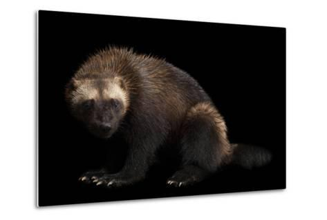 A Wolverine, Gulo Gulo, at New York State Zoo, a Candidate Species for Federal Protection.-Joel Sartore-Metal Print