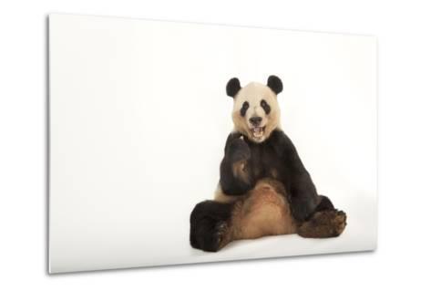 An Endangered Giant Panda, Ailuropoda Melanoleuca.-Joel Sartore-Metal Print