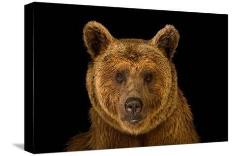 A Vulnerable Syrian Brown Bear, Ursus Arctos Syriacus, at the Budapest Zoo.-Joel Sartore-Stretched Canvas Print