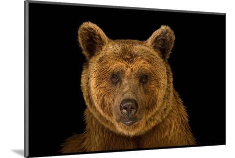 A Vulnerable Syrian Brown Bear, Ursus Arctos Syriacus, at the Budapest Zoo.-Joel Sartore-Mounted Photographic Print