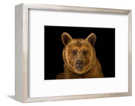 A Vulnerable Syrian Brown Bear, Ursus Arctos Syriacus, at the Budapest Zoo.-Joel Sartore-Framed Art Print