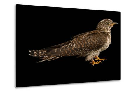 A Juvenile Common Cuckoo, Cuculus Canorus, from the Budapest Zoo.-Joel Sartore-Metal Print