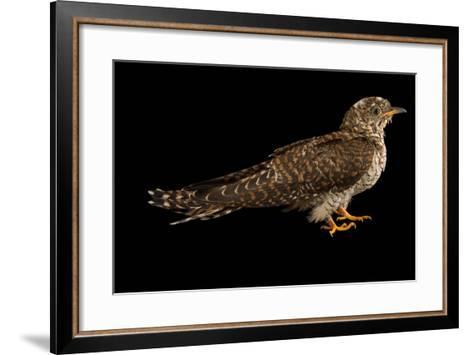 A Juvenile Common Cuckoo, Cuculus Canorus, from the Budapest Zoo.-Joel Sartore-Framed Art Print