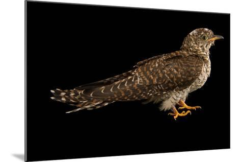 A Juvenile Common Cuckoo, Cuculus Canorus, from the Budapest Zoo.-Joel Sartore-Mounted Photographic Print