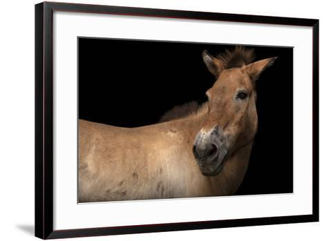 An Endangered Przewalski's Wild Horse, Equus Ferus Przewalskii, at the Gladys Porter Zoo.-Joel Sartore-Framed Art Print