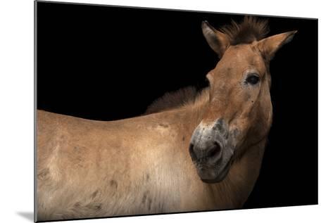 An Endangered Przewalski's Wild Horse, Equus Ferus Przewalskii, at the Gladys Porter Zoo.-Joel Sartore-Mounted Photographic Print
