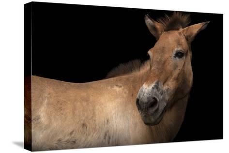 An Endangered Przewalski's Wild Horse, Equus Ferus Przewalskii, at the Gladys Porter Zoo.-Joel Sartore-Stretched Canvas Print