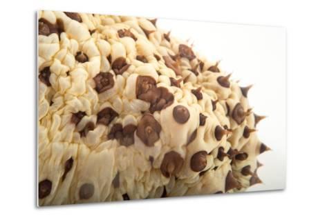 A Chocolate Chip Cucumber, Isostychopus Badonotus.-Joel Sartore-Metal Print