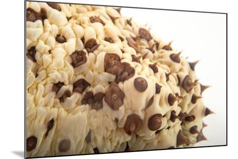 A Chocolate Chip Cucumber, Isostychopus Badonotus.-Joel Sartore-Mounted Photographic Print
