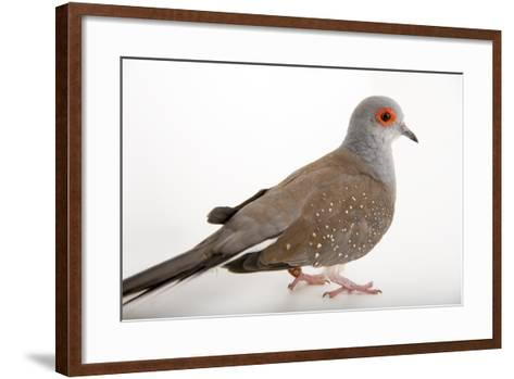A Diamond Dove, Geopelia Cuneata, at Healesville Sanctuary.-Joel Sartore-Framed Art Print