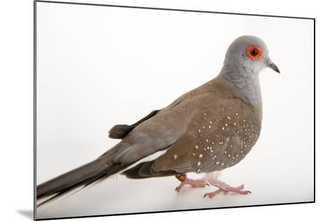 A Diamond Dove, Geopelia Cuneata, at Healesville Sanctuary.-Joel Sartore-Mounted Photographic Print