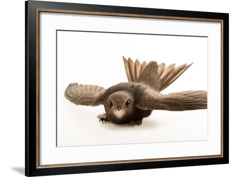 A Common Swift, Apus Apus, from the Budapest Zoo.-Joel Sartore-Framed Art Print