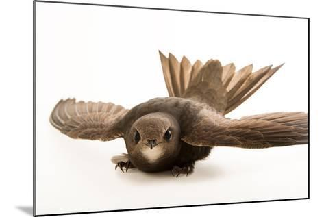 A Common Swift, Apus Apus, from the Budapest Zoo.-Joel Sartore-Mounted Photographic Print