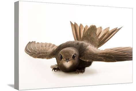 A Common Swift, Apus Apus, from the Budapest Zoo.-Joel Sartore-Stretched Canvas Print