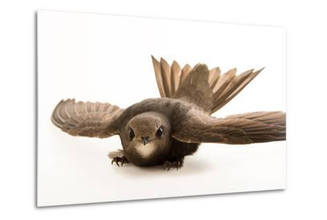 A Common Swift, Apus Apus, from the Budapest Zoo.-Joel Sartore-Metal Print