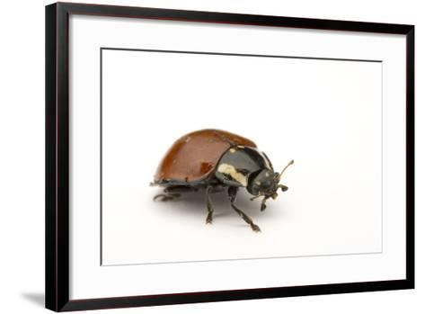 A No Spotted Lady Bird Beetle, Cycloneda Sanguinea, Collected in the Wild.-Joel Sartore-Framed Art Print