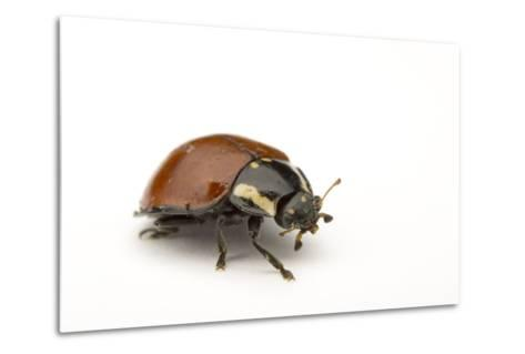 A No Spotted Lady Bird Beetle, Cycloneda Sanguinea, Collected in the Wild.-Joel Sartore-Metal Print