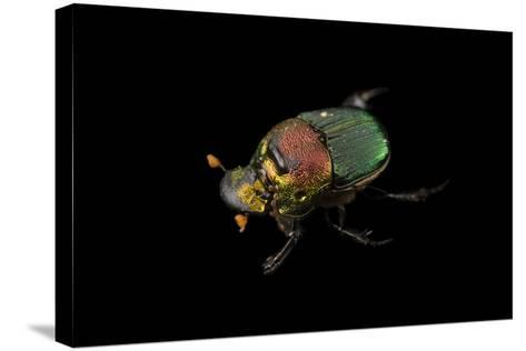 A Rainbow Scarab, Phanaeus Vindex, with Parasites Riding on its Neck, at the Houston Zoo.-Joel Sartore-Stretched Canvas Print