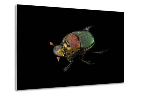A Rainbow Scarab, Phanaeus Vindex, with Parasites Riding on its Neck, at the Houston Zoo.-Joel Sartore-Metal Print