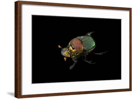 A Rainbow Scarab, Phanaeus Vindex, with Parasites Riding on its Neck, at the Houston Zoo.-Joel Sartore-Framed Art Print