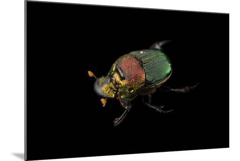A Rainbow Scarab, Phanaeus Vindex, with Parasites Riding on its Neck, at the Houston Zoo.-Joel Sartore-Mounted Photographic Print