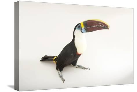 A Vulnerable Red-Billed Toucan, Ramphastos Tucanus, at Alabama Gulf Coast Zoo.-Joel Sartore-Stretched Canvas Print