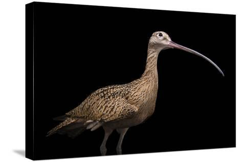 A Female Long Billed Curlew, Numenius Americanus, at the Tracy Aviary.-Joel Sartore-Stretched Canvas Print